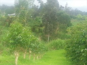COFFEE ORCHARD